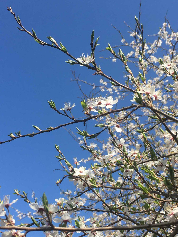 wiosna kwitnąca śliwa